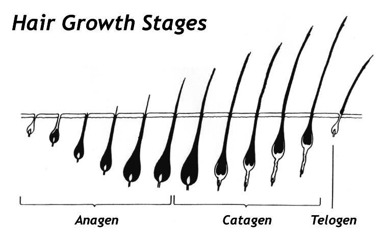 Eyelash growth cycle & biology of hair growth